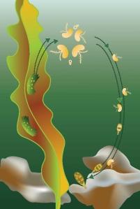 Kelp Life Cycle